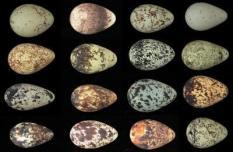 guillemot-egg