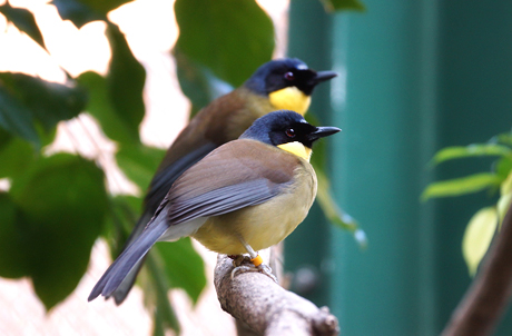 Blue-crowned Laughingthrush_1