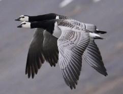 Barnacle Goose 1