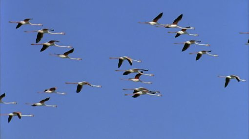 725861363-formation-flight-bird-migration-animal-migration-camargue